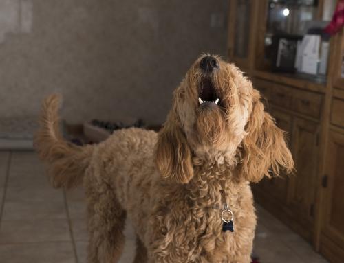 Guide du maître : mon chien aboie trop, que faire ?