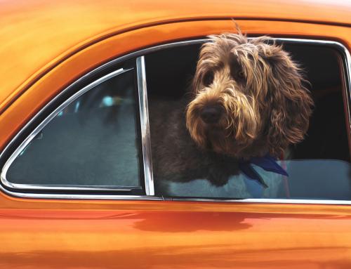 Pourquoi les chiens aiment sortir la tête en voiture ?