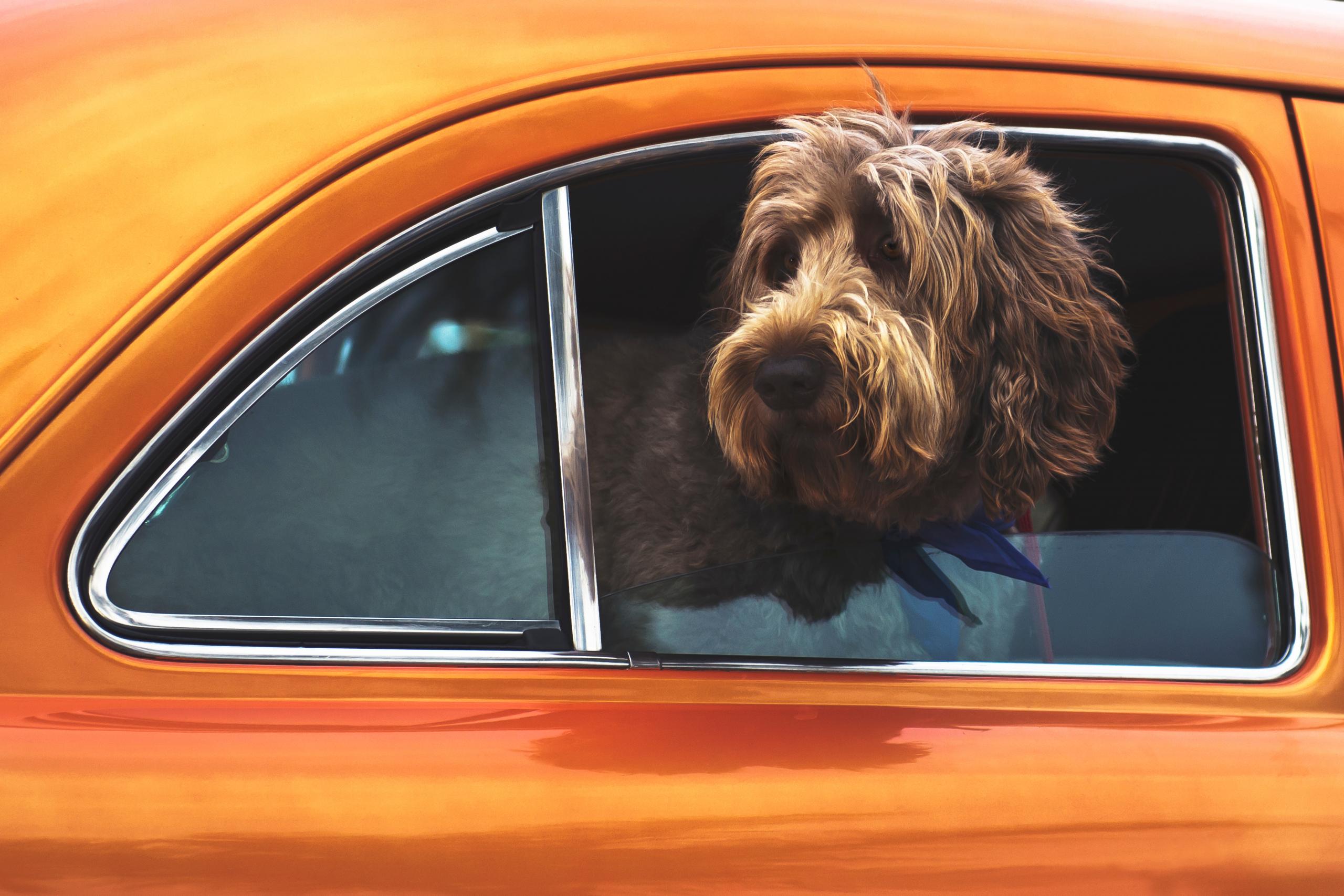 chien qui sort la tête d'une voiture