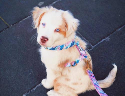 Des accessoires pour chien responsables et faits en France : Bandit Paris