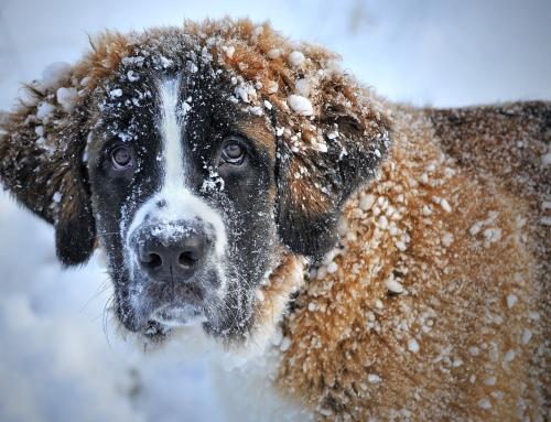 10 questions sur le Saint Bernard
