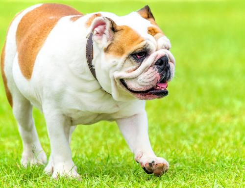 Tout savoir sur le Bulldog Anglais