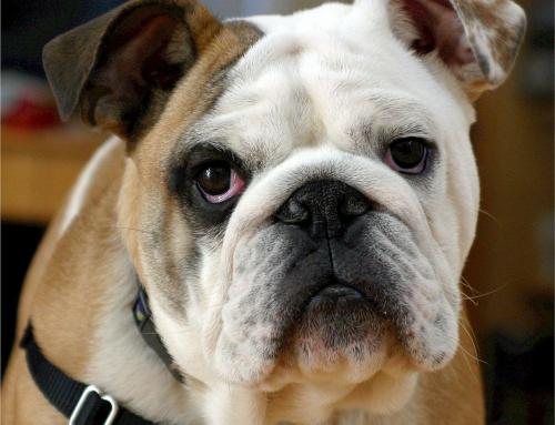 10 questions sur le Bulldog Anglais