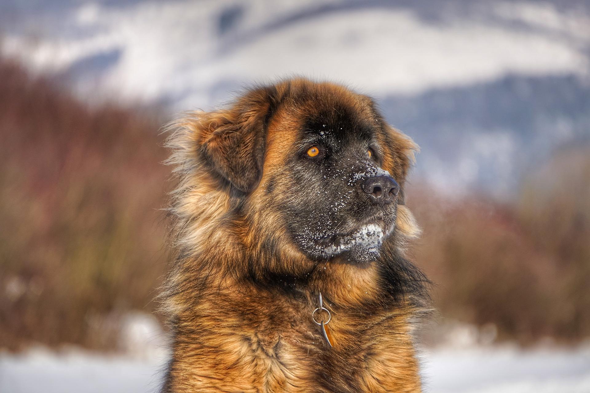chien leonberg