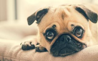 Les chiens peuvent-ils attraper le coronavirus?
