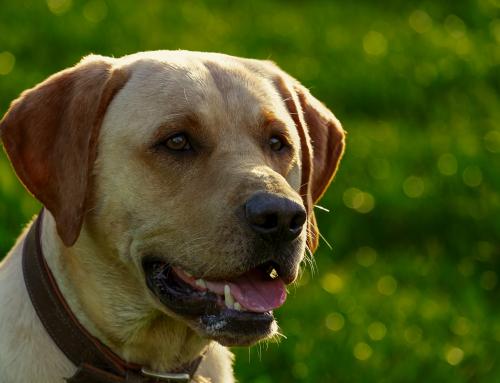 Un vieil homme diabétique sauvé par un chien !