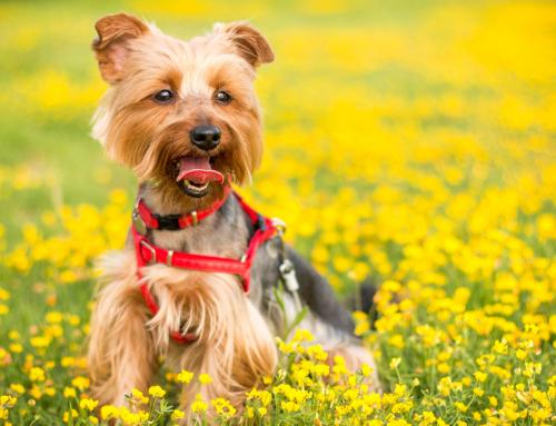 Top 10 des chiens les plus petits
