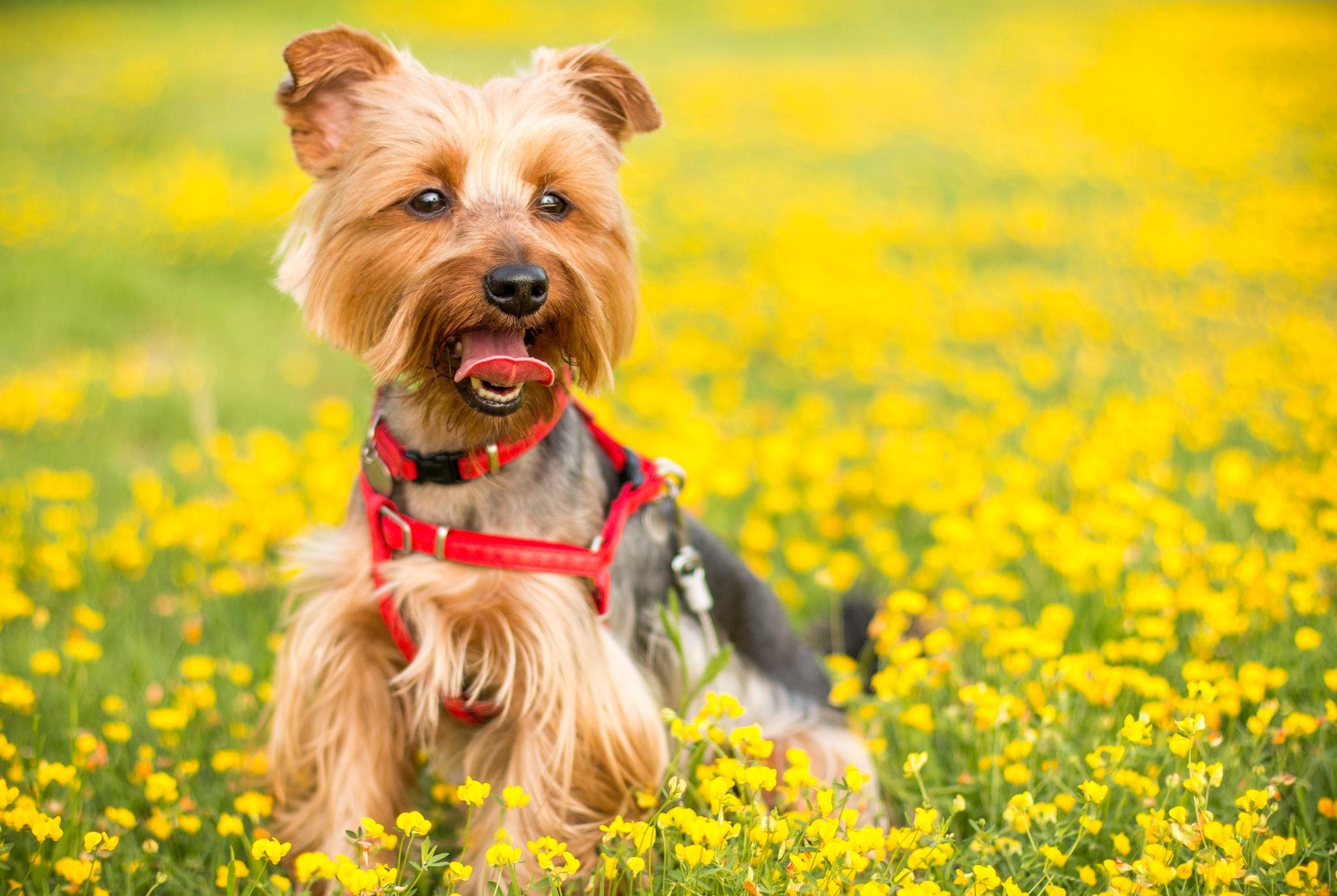 top 10 des plus petits chiens