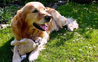 LE GOLDEN RETRIEVER LE PLUS AFFECTUEUX