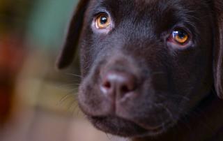 Labrador, race sujette au hot-spot