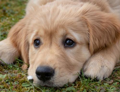 Askovet vous aide à prendre soin de la santé de votre chien