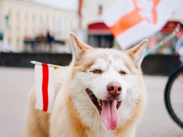 Husky portant un drapeau blanc et rouge