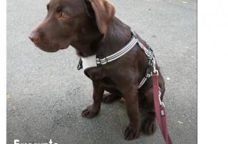 jeune labrador chocolat