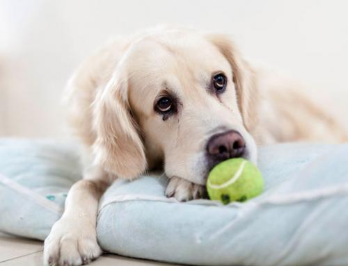 Guide du Maître : apprendre à son chien à rester seul