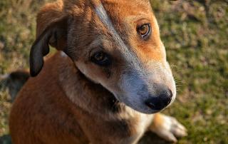 chien au regard triste
