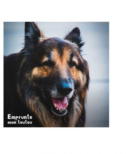 chien shiloh Shepherd