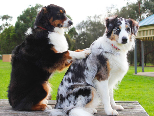 chien se faisant masser par un autre chien