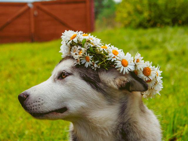 chien portant une couronne de fleurs