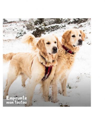 2 Goldens retrievers debouts dans la neige