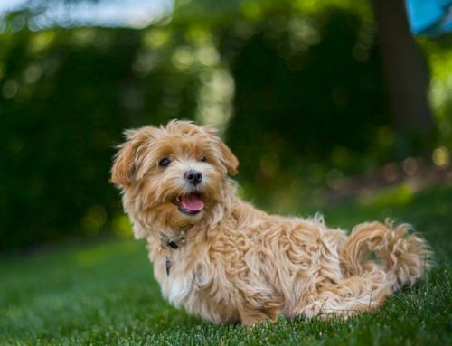 Sophie, chien de soutien émotionnel