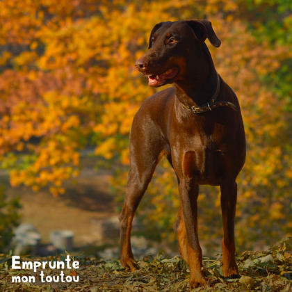 chien doberman marron