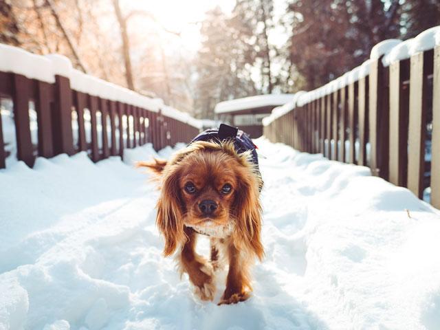 Cavalier king charles marchant dans la neige