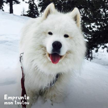 chien samoyède dans la neige