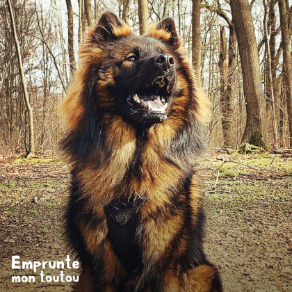 chien Eurasier noir et feu