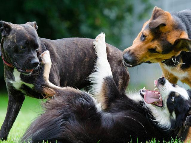 grands chiens s'amusant