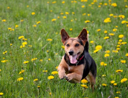 Guide du Maître : l'instinct de prédation chez le chien