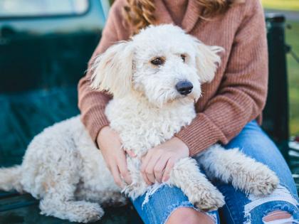 Le caniche, un chien hypoallergénique
