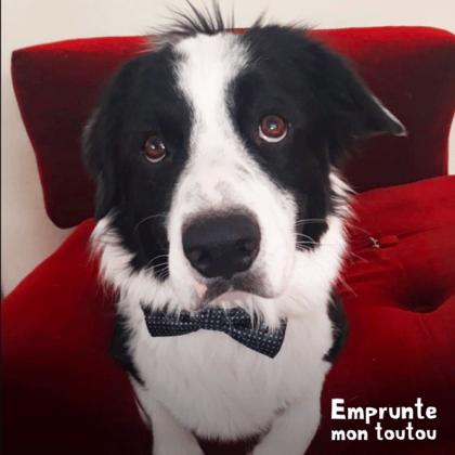 chien border collie noir et blanc