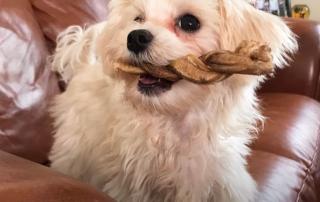 bichon maltais tenant un os dans sa gueule