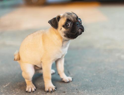 Le langage des toutous : pourquoi mon chien traîne ses fesses par terre ?