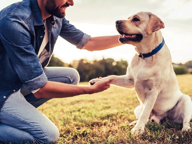 chien de race labrador donnant la patte à son maître