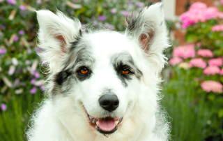 border collie blanc