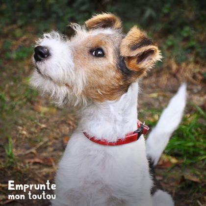 chien fox terrier à poil dur