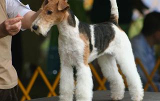 chien de race fox terrier à poils dur