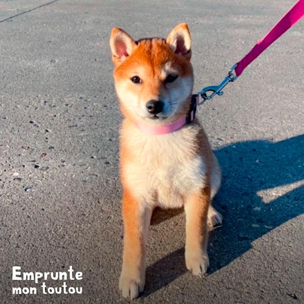 chien de race shiba inu