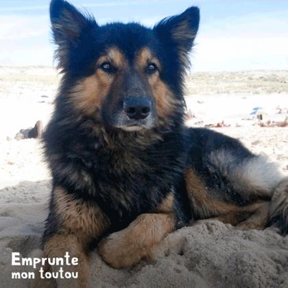 chien croisé Berger Allemand sur une plage