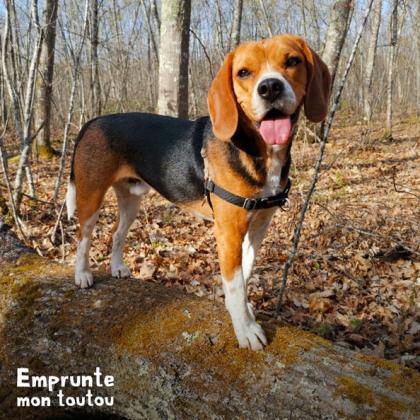 chien de race beagle
