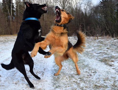 Guide du Maître : chien dominant, mythe ou réalité?