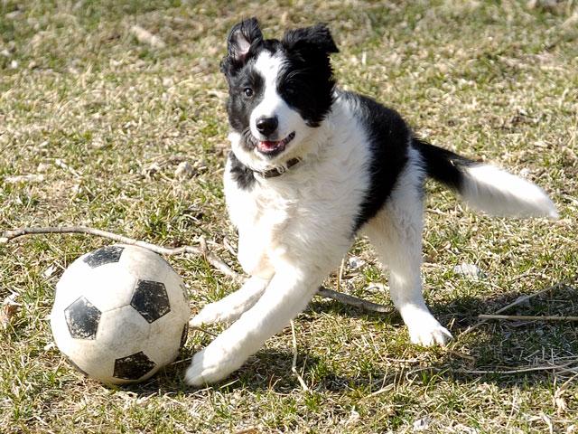 chien noir et blanc jouant avec un ballon de football