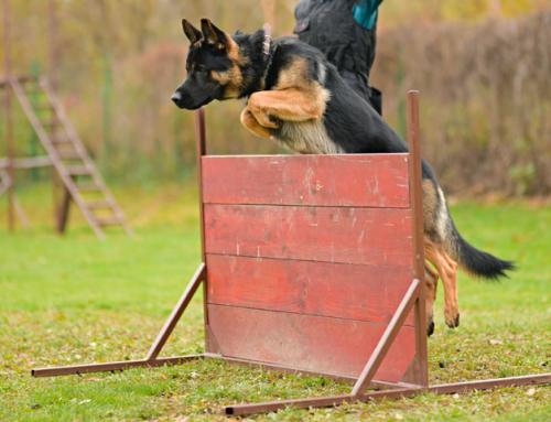 Faire une activité avec son chien : le Ring