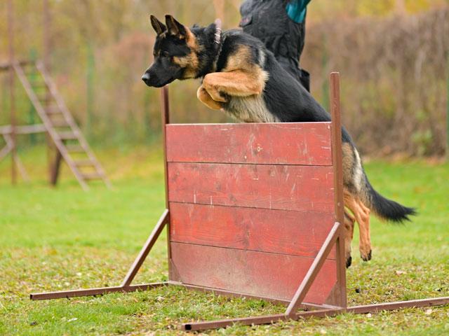 chien escaladant une palissade