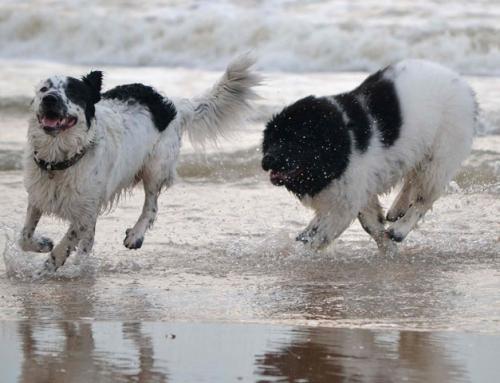 Top 10 des chiens qui aiment l'eau