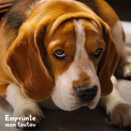 le beagle, une race prédisposée aux crises d'epilepsie