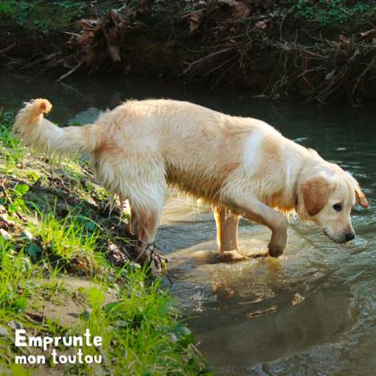 chien golden retriever trempant ses pattes dans l'eau