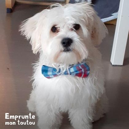 chien blanc de race bichon maltais