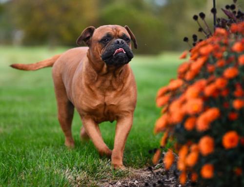 10 questions sur le Bullmastiff